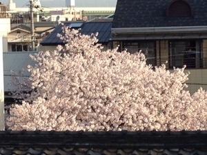 20140402 070542 桜咲いてます